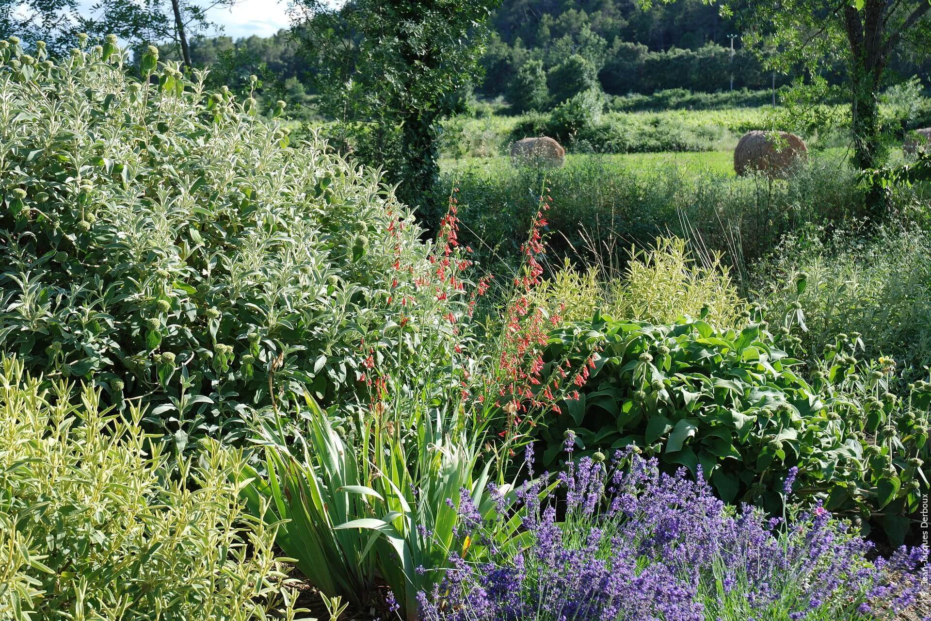 Jardin sec, jardin sans arrosage, collection de phlomis, lavande, penstemon barbatus.