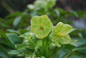 Fleur : Helleborus foetidus - Janvier Mars Floraison