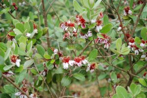 Fleurs de Feijoa sellowiana, goyavier du Brésil